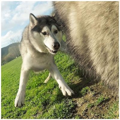 Suporte GoPro Canino